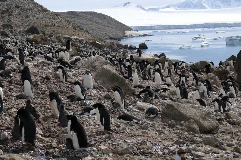 PHOTO BY NOAH STRYCKER - In Antarctica, Strycker photographed Adelie penguins gathered in a waddle during his 'Big Year.'