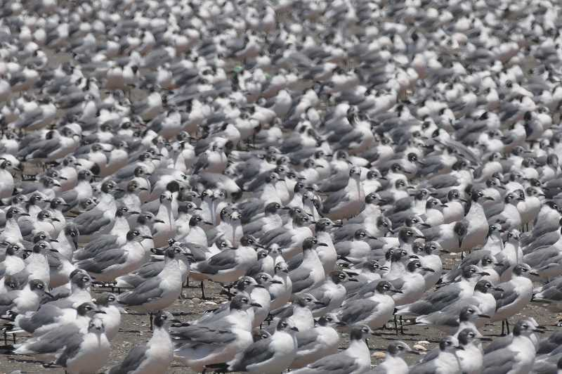 PHOTO BY NOAH STRYCKER - A colony of Franklin gulls gathers in Chile, for this photo taken by Noah Strycker, this year's Community Read author.