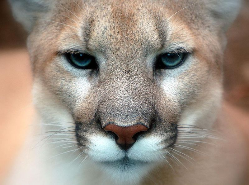 COURTESY PHOTO: WIKIMEDIA COMMONS, IPUSER - State officials say the cougar spotted near Mt. Hood Community College likely does not pose a threat.