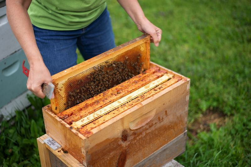 PMG PHOTO: ANNA DEL SAVIO - The beehives are filled with frames to make building and processing honeycomb easier for both the bees and beekeeper, but the bees sometimes ignore those guides.
