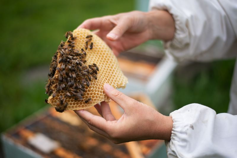 PMG PHOTO: ANNA DEL SAVIO - Zahl inspects a comb from one of her beehives. The bees produce wax, which they then use to build the small hexagonal cells that make up honeycomb.