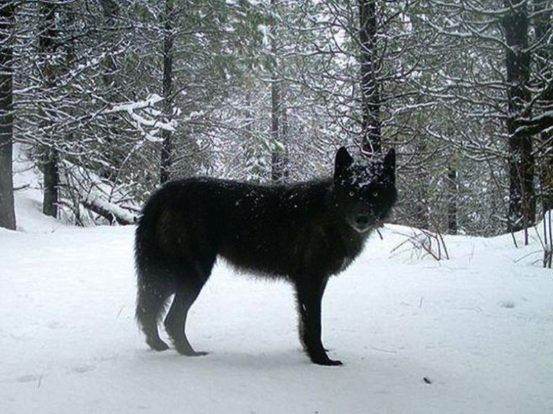 ODFW PHOTO VIA OPB - A wolf of the Wenaha Pack captured on a remote camera on U.S. Forest Service land in northern Wallowa County.