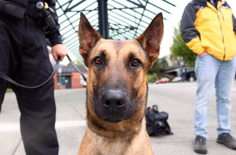 PMG PHOTO: ZANE SPARLING - Sem, a 20-month-old purebred Belgian Malinois, poses for a photo during his first day on the job on Monday, May 20.