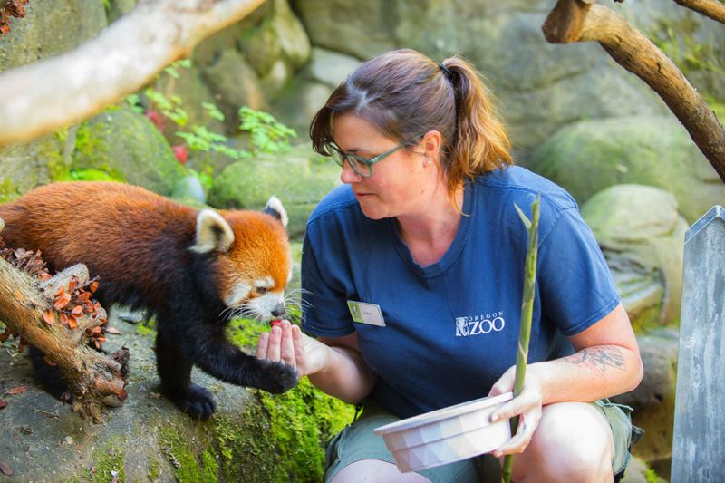 COURTESY: MICHAEL DURHAM/OREGON ZOO - Mei Mei the red panda enjoys some grapes and bamboo at the Oregon Zoo.
