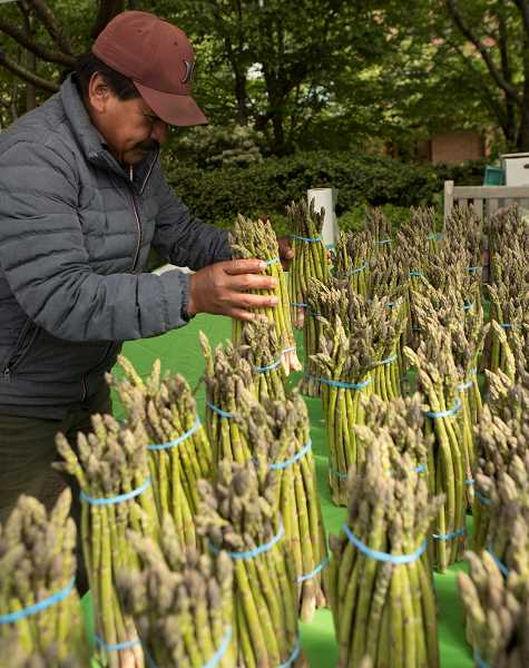 PMG PHOTO: JAIME VALDEZ - Roberto Zunita of Crawford's Nursery and Produce in Cornelius stacks bunches of asparagus at his booth on the opening day of the Lake Oswego Farmers' Market at Millennium Plaza Park.