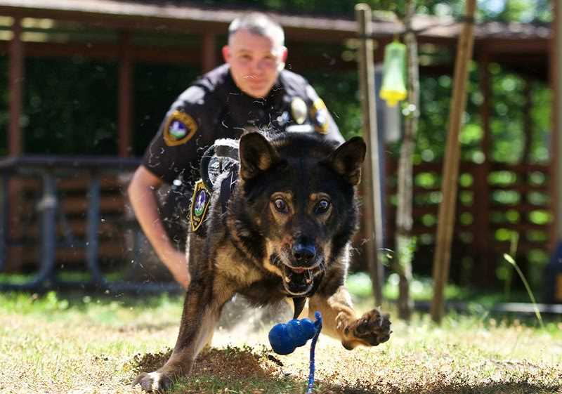 TIMES FILE PHOTO: JAIME VALDEZ - Baxter chases after his favorite toy after performing well during practice with his partner, Sgt. Cameron Odam.
