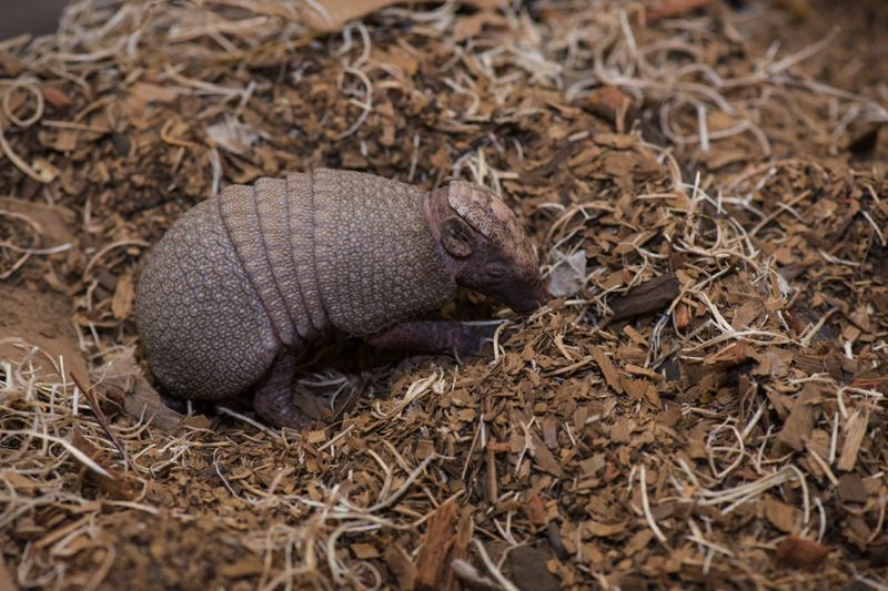 COURTESY: MICHAEL DURHAM/OREGON ZOO - The three-banded armadillo family welcomed a pup recently, the first of the species to be born at the Oregon Zoo.