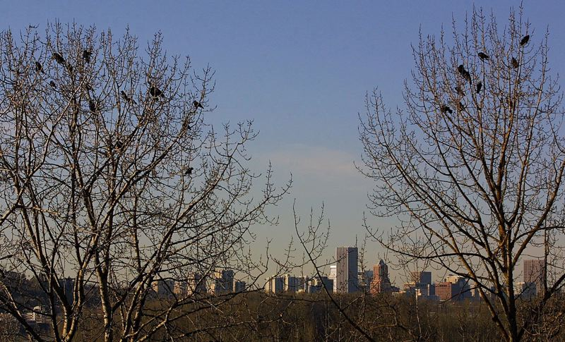 FILE PHOTO - The downtown Portland skyline looms above Oaks Bottom, where a flock of crows enjoys the afternoon sun.