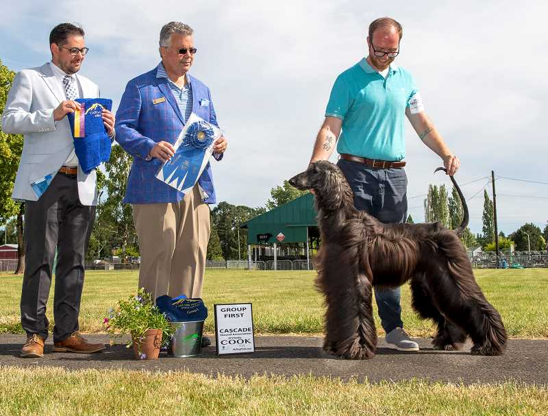 COURTESY PHOTO - Max, a 1-year-old Afghan hound from Oregon City, was named Best in Show at the Cascade Hound Association dog show on June 16.
