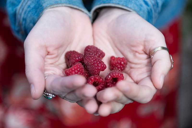PMG PHOTO: CHRISTOPHER OERTELL - Raspberries are one of many berries in season at West Union Gardens in Hillsboro.