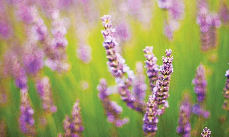 GRAPHIC FILE PHOTO - The annual Willamette Valley Lavender Festival will return to Newberg July 13-14 at the Chehalem Cultural Center.