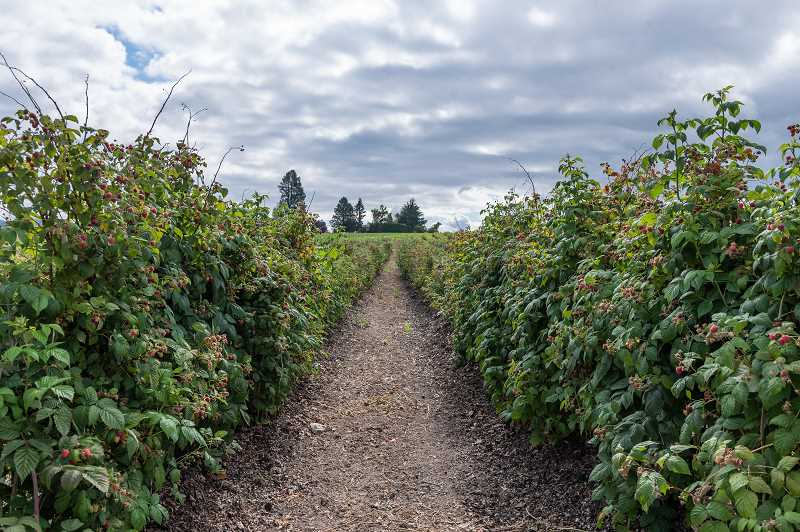 PMG PHOTO: CHRISTOPHER OERTELL - A long row of raspberry bushes await u-pickers at West Union Gardens in Hillsboro.