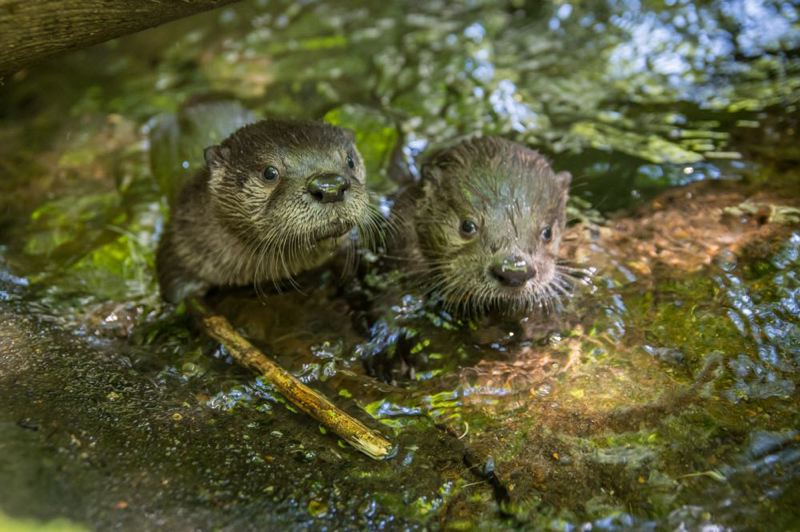 COURTESY PHOTO: MICHAEL DURHAM/OREGON ZOO - Rescued river otter pups Flora and Hobson were named for Oregon waterways.