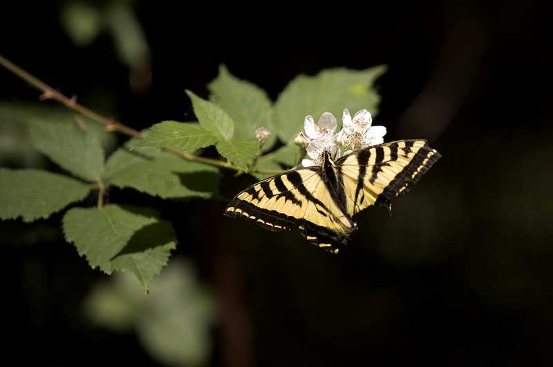 PMG PHOTO: JAIME VALDEZ - A Swallowtail butterfly was on display for summer camp participants.