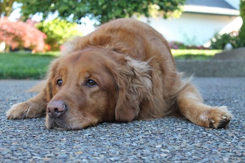 PMG PHOTO: ANNE ENDICOTT - Ty, our nearly 9-year-old golden retriever, finds some semblance of peace in the driveway, while a flooring project inside the house threatens the sanctity of his universe.