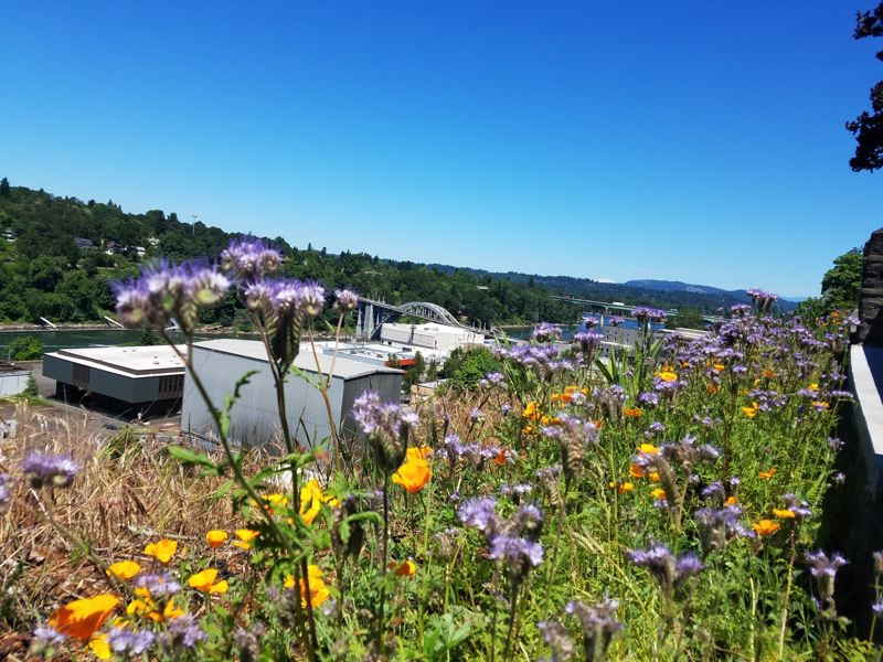 COURTESY PHOTO - The Wildflower Walk blooms in its first season, overlooking Oregon City's Arch Bridge.