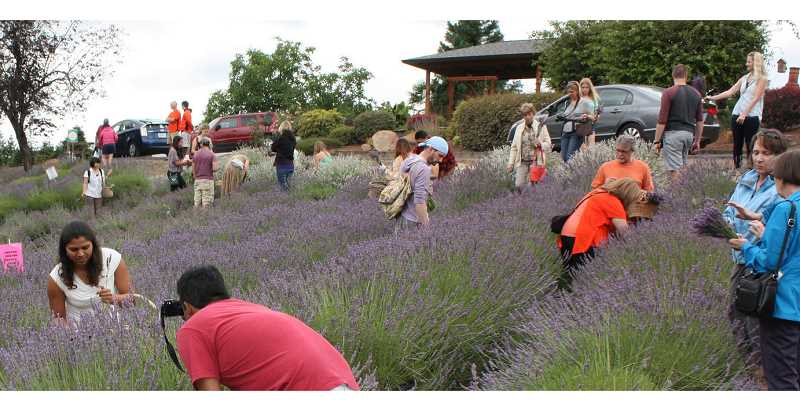 COURTESY PHOTO - Helvetia Lavender Farms is bringing back its star of the summer, the Helvetia Lavender Festival, with opportunities to listen to music, check out several booths, eat tea and scones and see more than 60 varieties of lavender starting Friday, July 12.