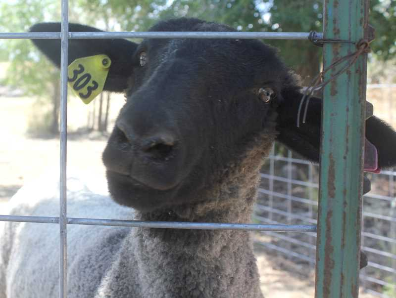 DESIREE BERGSTROM/ MADRAS PIONEER - Katrina, the 4-H lamb belonging to Jaden Scott, has a personality all her own.
