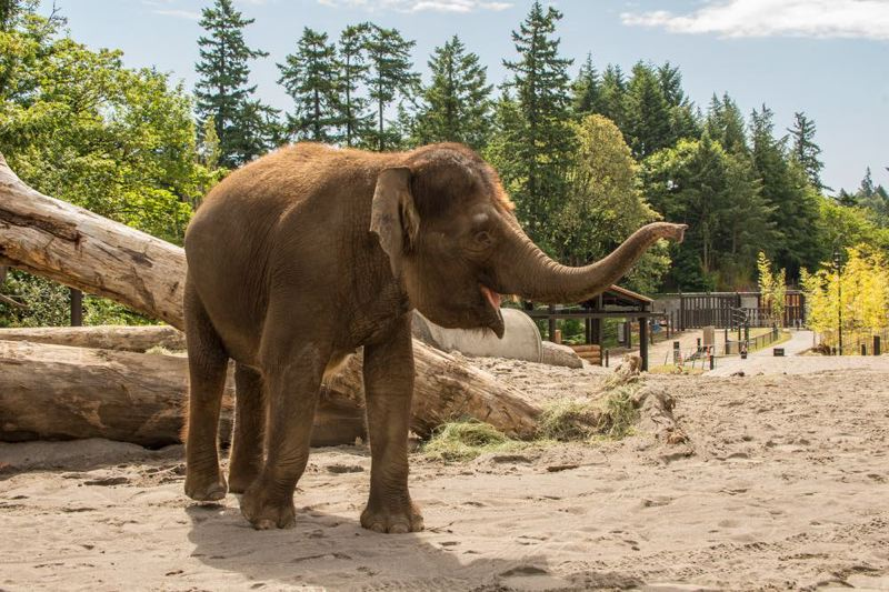 COURTESY PHOTO: MICHAEL DURHAM/OREGON ZOO - The Oregon Zoo's 26-year-old Asian elephant Chendra could become a mother in late 2020, the zoo announced Wednesday, July 10.