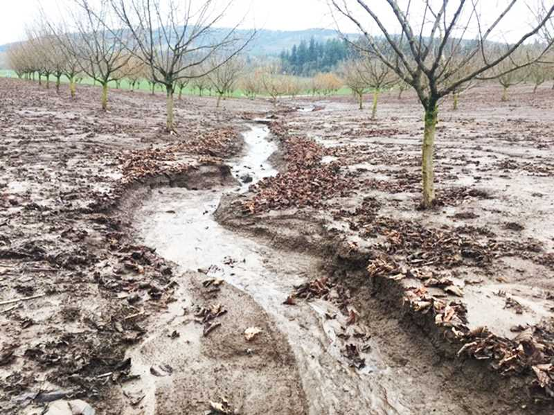 USDA PHOTO - Funding is available to help farmers fight soil erosion in hazelnut orchards.