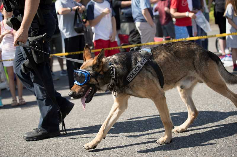 PMG PHOTO: JAIME VALDEZ - Chase, a K9 dog with the Lake Oswego Police Department, walks with goggles over his eyes during the Star Spangled Parade.