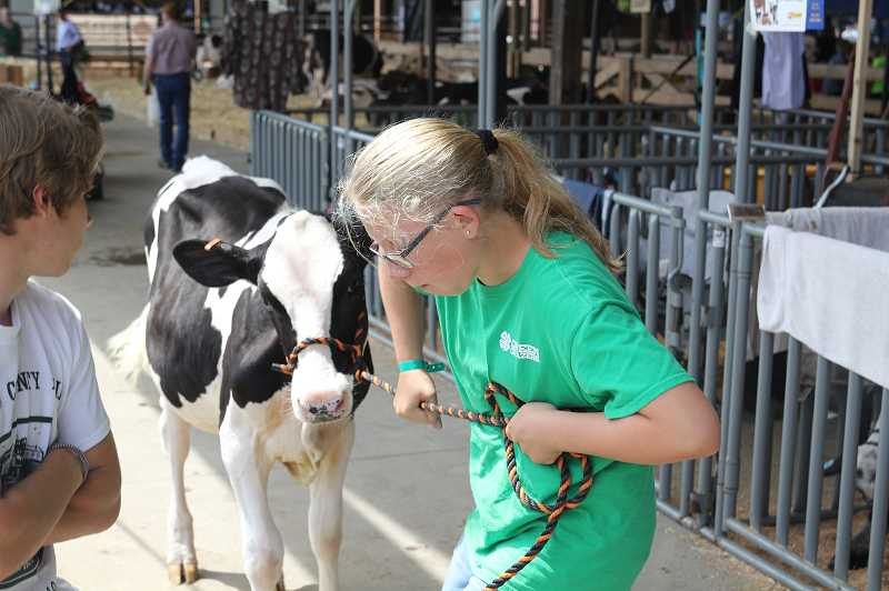 PMG PHOTO: JUSTIN MUCH - Josey Edwards of St. Paul wrangles Sweetheart to the prep station at the Marion County Fair Friday, July 12.