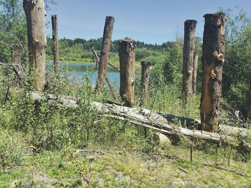 COURTESY METRO - A logjam on River Island property on the Clackamas River provides shelter for fish. Removing shade trees near rivers makes the water too hot for fish to survive.