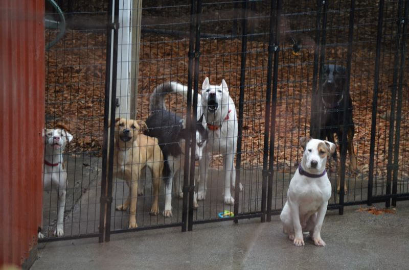 PMG FILE PHOTO - Dogs wait outside a Scappoose home linked to All Terrier Rescue in 2017.