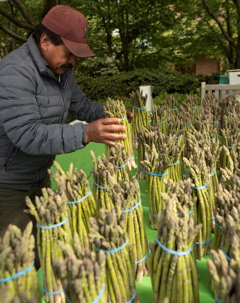 PMG PHOTO: PATRICK MALEE - Roberto Zunita of Crawford's Nursery and Produce in Cornelius stacks bunches of asparagus at his booth on the opening day of the Lake Oswego Farmers' Market in May.