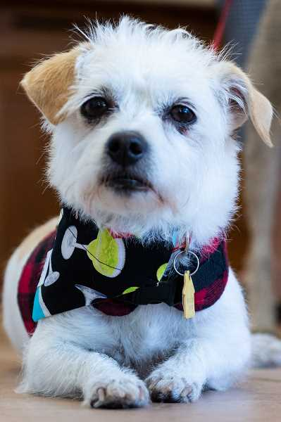 PMG PHOTO: CHRISTOPHER OERTELL - Glenda, a terrier mix, is one of Puppernickels official taste testers.