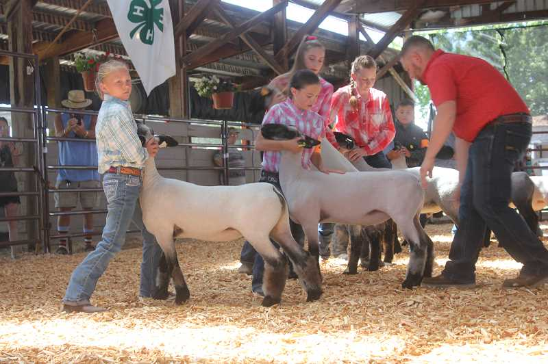 DESIREE BERGSTROM/MADRAS PIONEER - It's showtime! Young sheep-raisers get their animals in line for all-important judging.