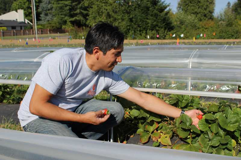 PMG PHOTO: COREY BUCHANAN - Javier Fernandez-Salvador, NWREC's berry and olive specialist, picks strawberries placed under tunnels that help keep the berries growing for a larger portion of the year.