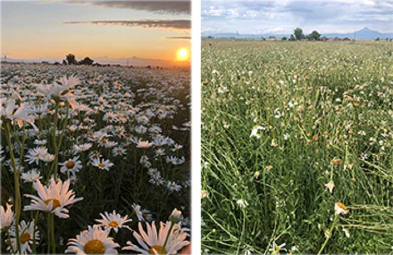 SUBMITTED PHOTO - The hail and torrential rain that hit Jefferson County Friday evening caused various, and in places significant, crop damage. A great example is the ravaged field of daisies grown for seed by Avila Farms on Bear Drive south of Madras. The picture at the left was taken just days before the storm. The picture at the right was taken Saturday morning. The Avilas hope to be able to recoup some seed from the field.