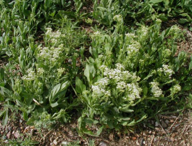 SUBMITTED PHOTO - Hoary cress, also called white top, is one of the city's more common noxious weeds.