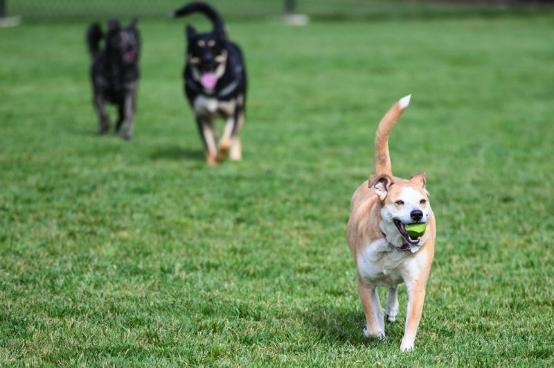 PMG PHOTO: CHRISTOPHER OERTELL - Bagel plays with a ball, with other dogs in tow, during the grand opening of the off-leash dog park in Cornelius.
