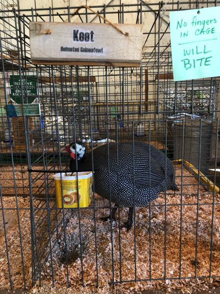 PMG PHOTO: NOAH WASS - A sign on helmeted guineafowl Keet's cage warns against putting fingers where the animal could bite them.