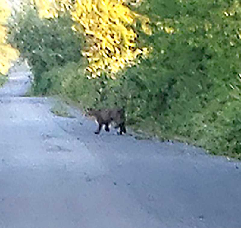 COURTESY PHOTO: JENNIFER HANSON - A close up photo of the cougar spotted by Scappoose's Jennifer Hanson on the Crown Zellerbach Trail on the morning of Tuesday, Aug. 20.