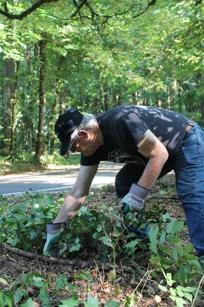 PMG PHOTO: HOLLY BARTHOLOMEW  - Bill Wilkins removes invasive ivy near the parking lot entrance of Wilderness Park.