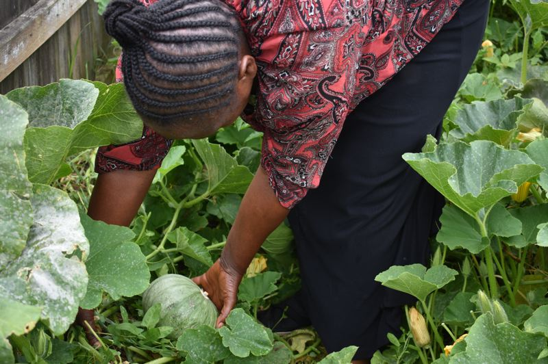 PMG PHOTO: TERESA CARSON - Zawadi Baderha checks a squash and declares it not quite ready for harvest.