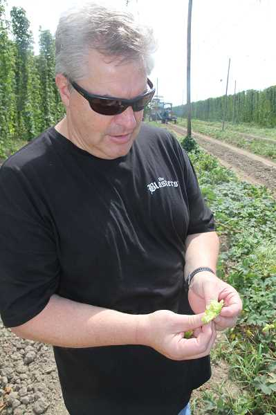 PMG PHOTO: JUSTIN MUCH - Coleman Agriculture President David Henze said experienced hop tenders know hops are ready to harvest when they have a certain feel and smell.