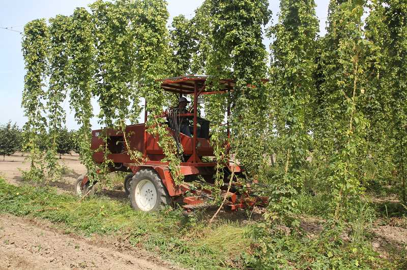 PMG PHOTO: JUSTIN MUCH - Cutting and hauling in hops from a Coleman Agriculture field just outside of St. Paul.