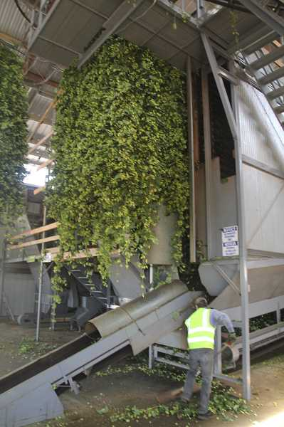 PMG PHOTO: JUSTIN MUCH - Fobert Farms, Inc., in Hubbard has a hop processing building that picks, cleans, heats, cools and bales the hops.