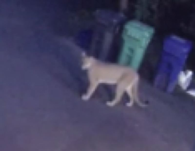 COURTESY KOIN 6 NEWS - The cougar caught on camera in the Dunthorpe neighborhood.