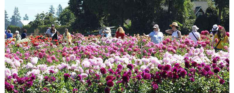 PMG PHOTO: KRISTEN WOHLERS - The colors will still be popping this weekend as the Swan Island Dahlia Festival resumes over the holiday weekend.
