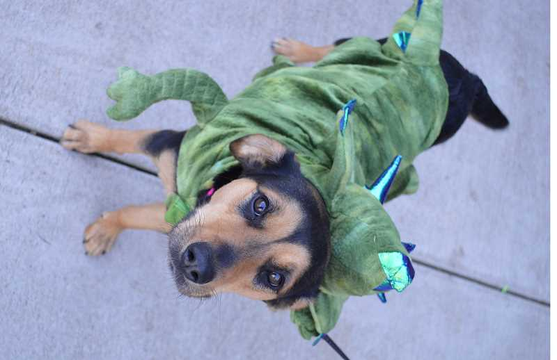 PMG FILE PHOTO - City of Wilsonville Recreation Coordinator Erica Behler's  3-year-old hound mix Tahlia will be one of the dogs to don a costume at the upcoming Howl-A-Ween event.