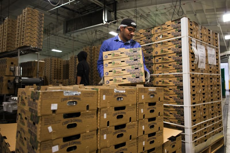 PAMPLIN MEDIA GROUP: JAIME VALDEZ - Workers prepare to ship blueberries at Curry & Co in Brooks, Oregon.