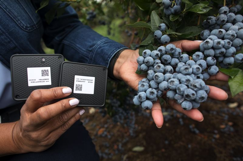 PAMPLIN MEDIA GROUP: JAIME VALDEZ - A close-up of the Intel hardware next to ripe Oregon blueberries.