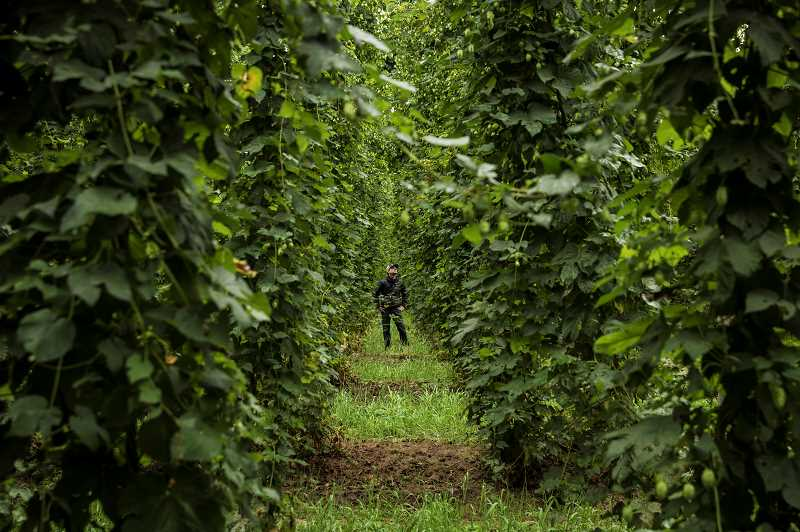 COURTESY OF CROSBY HOP FARMS - Global nonprofit B Lab recognized Woodburn's Crosby Hop Farm as a 2019Best For The World: Changemaker, citing significant improvement to its overall impact on workers, communities, the environment, and governance.