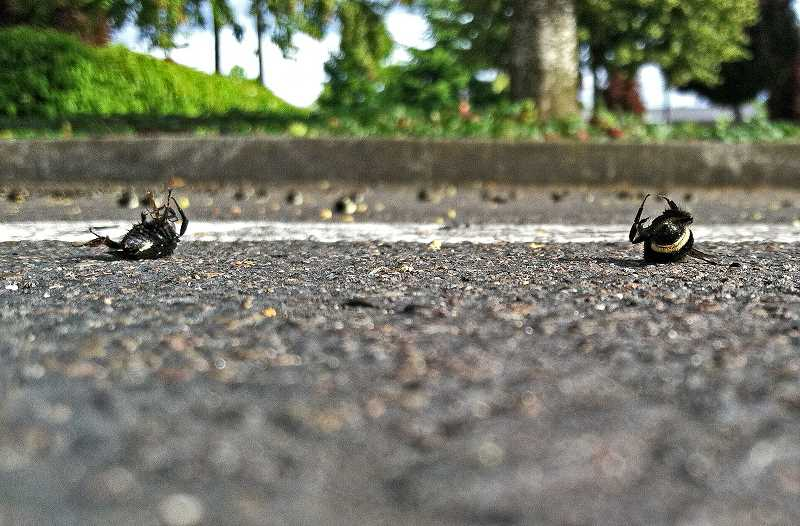 PMG FILE PHOTO - Approximately 50,000 bees died in a Target parking lot in Wilsonville in 2013.