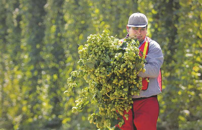WOODBURN INDEPENDENT PHOTO: JUSTIN MUCH - Cutting and hauling in hops from a Coleman Agriculture field just outside of St. Paul.